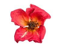Trockene Rotrose auf einem weißen Hintergrund Lizenzfreie Stockfotos