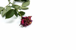 Trockene Rotrose auf weißem Hintergrund Lizenzfreie Stockbilder