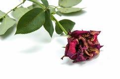 Trockene Rotrose auf weißem Hintergrund Fokus auf Rosen Lizenzfreies Stockbild