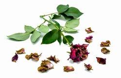 Trockene Rotrose und -blumenblätter auf weißem Hintergrund Stockbild