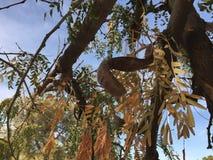 Trockene Süßhülsenbaum-Hülsenfrucht auf dem Baum Stockbild