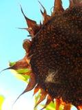 Trockene Sonnenblume Lizenzfreies Stockfoto