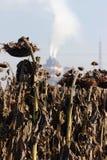 Trockene Sonnenblume in den Pastellfarben Lizenzfreies Stockbild