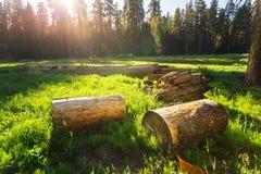 Trockene Stümpfe der Kiefers auf grüner Wiese bei Sonnenuntergang Lizenzfreie Stockfotos
