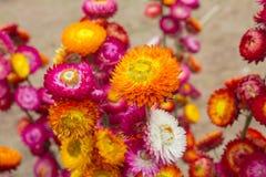 Trockene Strohblume oder ewig Lizenzfreies Stockfoto