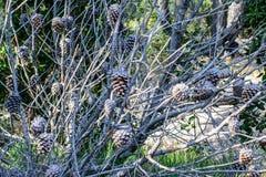 Trockene tote Kiefer im Wald stockfoto