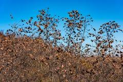 Trockene wild wachsende Pflanzen Lizenzfreies Stockbild