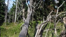 Trockener alter Baum stock video