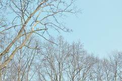 Trockener alter Baum mit blauem Himmel des Herbstes Stockbild