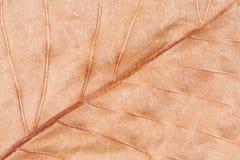 Trockener Autumn Leaf Macro Stockbild
