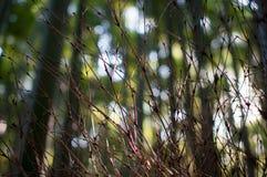 Trockener Bambus verzweigt sich Grove-Hintergrund Stockfoto
