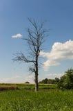 Trockener Baum Lizenzfreie Stockfotografie