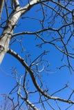 Trockener Baum auf blauem Himmel stockfotografie