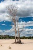 Trockener Baum auf Sand auf Hintergrund des blauen Himmels australien Lizenzfreies Stockfoto
