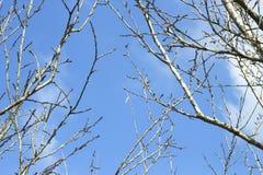 Trockener Baum der Niederlassung und Hintergrund des blauen Himmels Stockfotografie