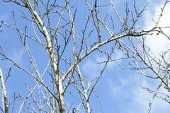 Trockener Baum der Niederlassung und Hintergrund des blauen Himmels Lizenzfreies Stockfoto