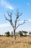 Trockener Baum in der Savanne, Nationalpark Kruger Berühmter Kanonkop Weinberg nahe malerischen Bergen am Frühling Stockbild