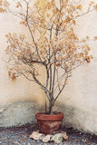 Trockener Baum im Blumentopf Lizenzfreies Stockbild