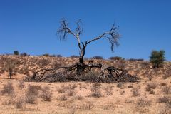 Trockener Baum im Kalahari Stockbilder