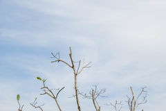 Trockener Baum kein Blatt in der Sommersaison Stockbild