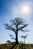 Trockener Baum mit blauem Himmel und Sonne in der Hintergrundbeleuchtung Stockfotos