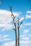 Trockener Baum mit Vertikale des blauen Himmels Stockfotos