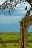 Trockener Baum u. Adler Stockfoto