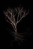 Trockener Baum und bloße Wurzel lokalisiert Stockbild