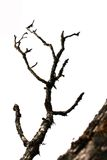 Trockener Baum wird auf Weiß lokalisiert Stockfotografie