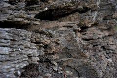 Trockener Baumstamm mit vielen Sprüngen Stockfotografie