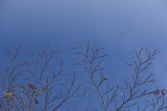 Trockener Baumstand auf Hintergrund des blauen Himmels Stockfotos
