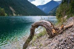 Trockener Baumstumpf auf dem Ufer von einem Gebirgssee stockfotos