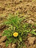Trockener Boden des gebrochenen und zerquetschten Lehms mit letztem grünem Löwenzahn Lizenzfreie Stockfotos