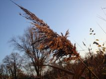 Trockener brauner Flussstock in den sonnigen Sonnenuntergangstrahlen des Winters Schöne Reedquaste lizenzfreies stockfoto