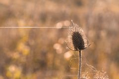 Trockener Dorn im Spinnennetz, Nahaufnahme Stockbilder