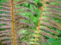 Trockener Forest Ferns Stockbild
