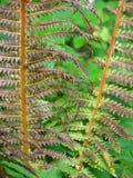 Trockener Forest Ferns Stockfotografie