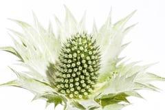 Trockener grüner Carduus lokalisiert auf weißem Hintergrund Lizenzfreies Stockfoto