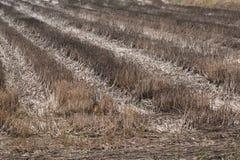 Trockener Gutshof in der Jahreszeit der Dürre Lizenzfreie Stockbilder