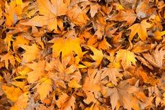 Trockener Herbstblathintergrund stockfotos
