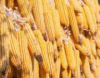 Trockener Mais Lizenzfreies Stockfoto