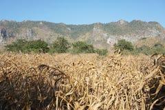 Trockener Mais archiviert stockbilder