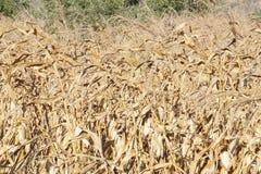 Trockener Mais archiviert stockfoto