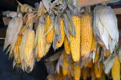 Trockener Mais, der am Brett hängt Stockbilder