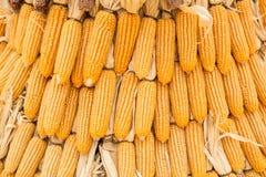 Trockener Maiskolben Stockbilder