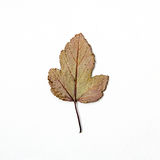 Trockener mehrfarbiger Herbstlaubmuster-Weißhintergrund Stockfotografie