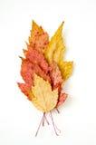 Trockener mehrfarbiger Herbstlaubmuster-Weißhintergrund Stockfoto