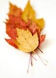 Trockener mehrfarbiger Herbstlaubmuster-Weißhintergrund Stockfotos