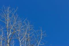Trockener Pappelbaum gegen den blauen Himmel Stockfotografie