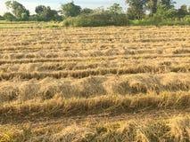 Trockener Reis archiviert nach der Ernte Lizenzfreie Stockbilder